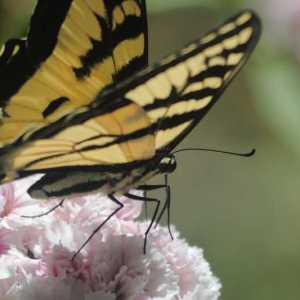 swallowtail butterfly sweet williams flowers T38A22933