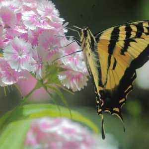swallowtail butterfly sweet williams flowers T38A2294