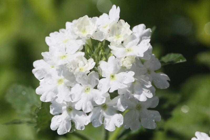 water drop verbena flower T38A1225