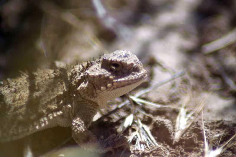Pygmy Horned Lizard Of Jefferson County Oregon