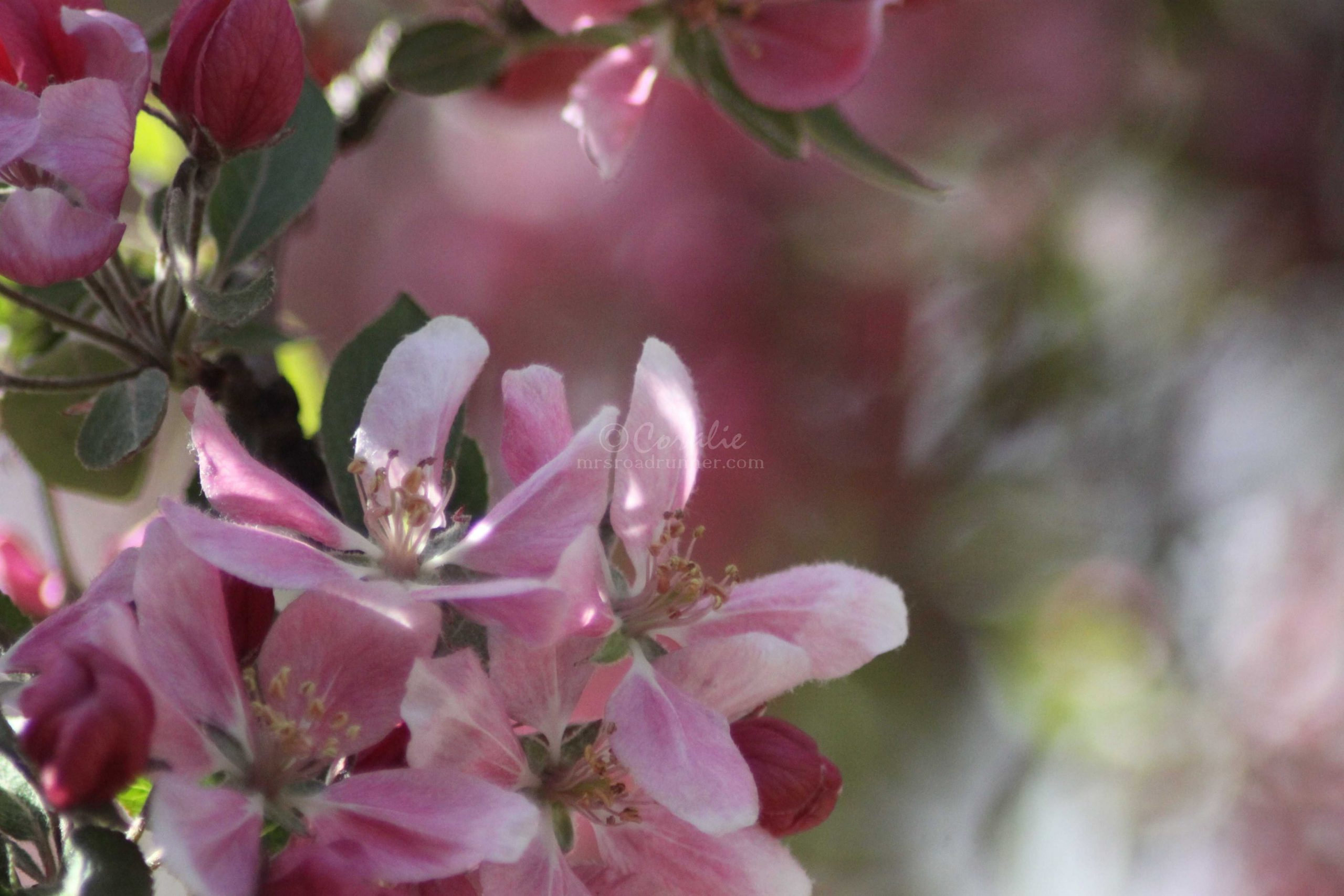 colorful apple flowers 115