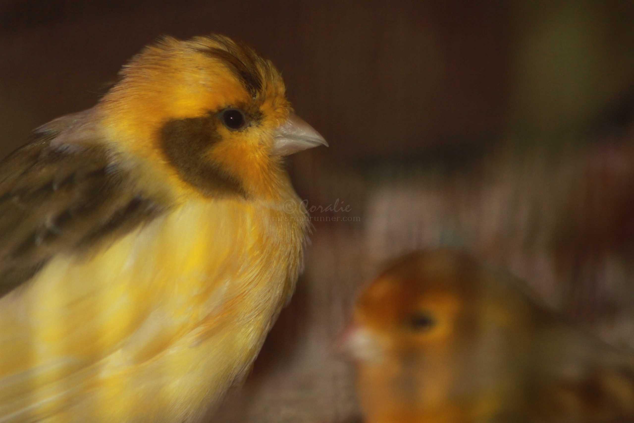 male female singing canary birds 062