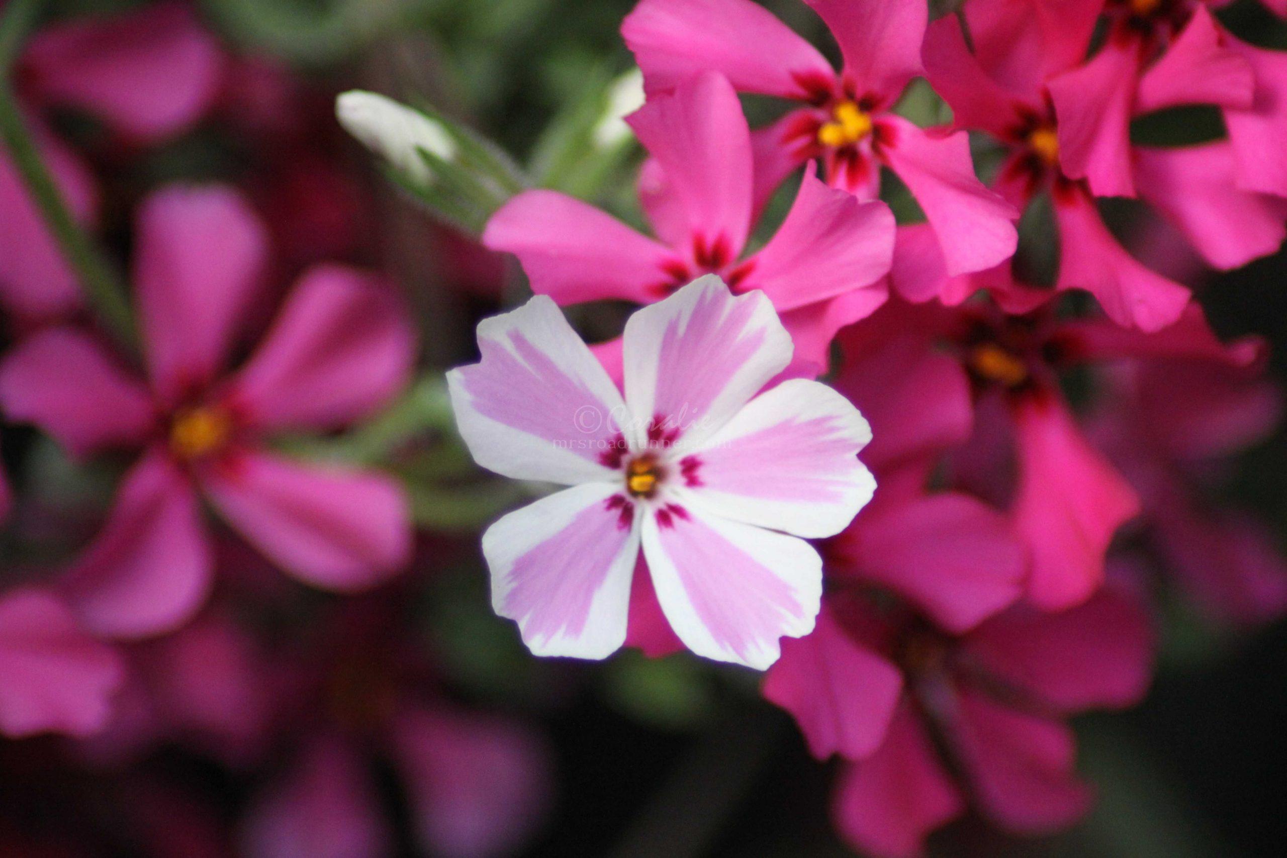 phlox flowers 187