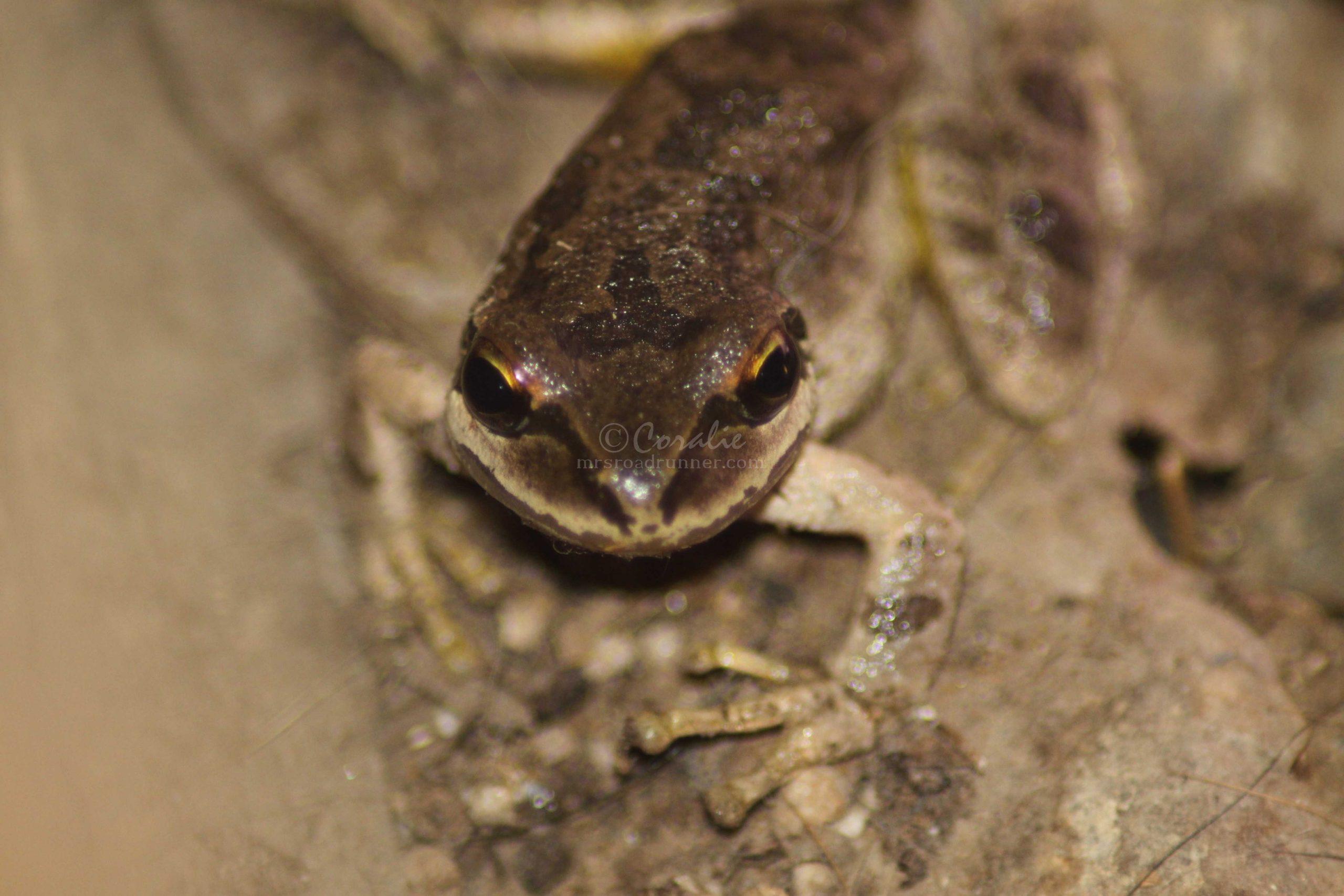 tree frog 105