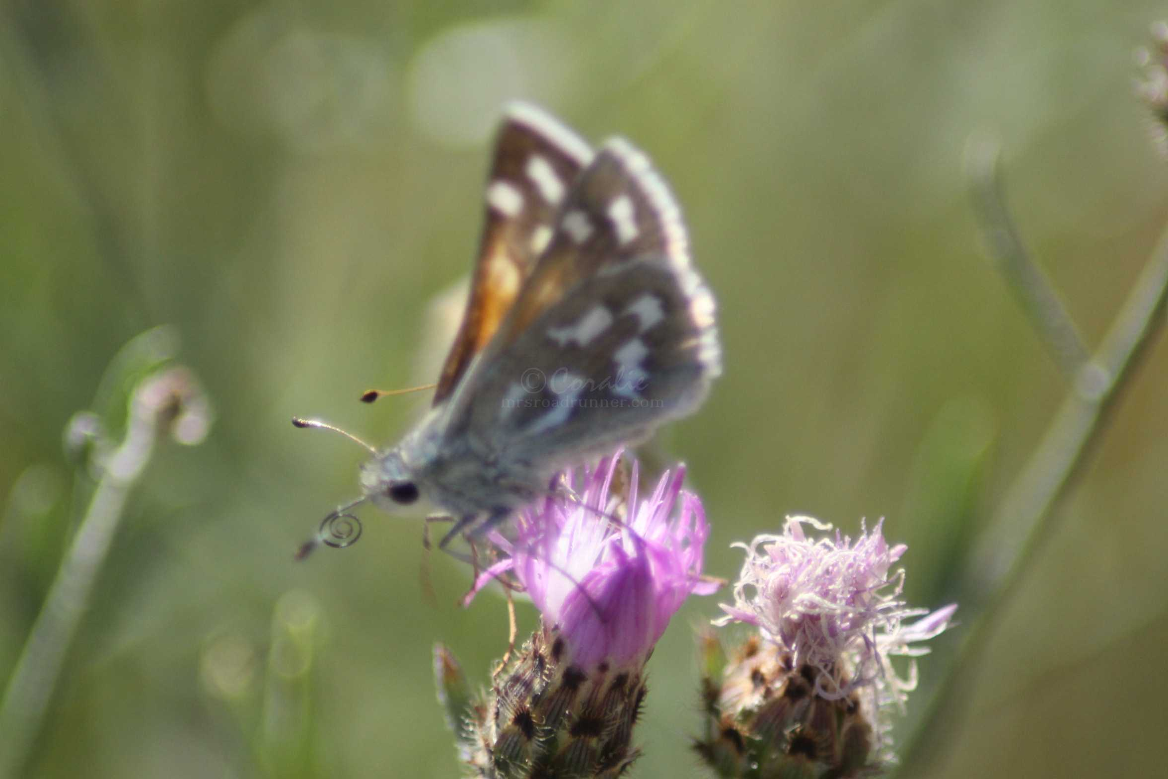 Common Checkered-Skipper Pyrgus communis butterfly 1564