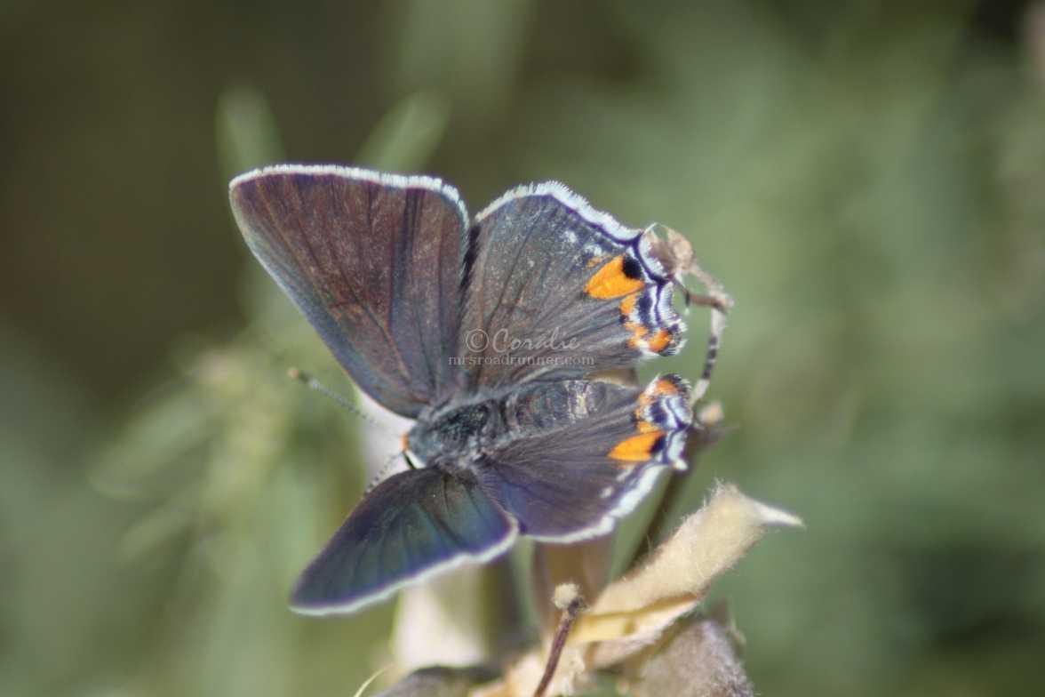 Gray Hairstreak Butterfly 2173