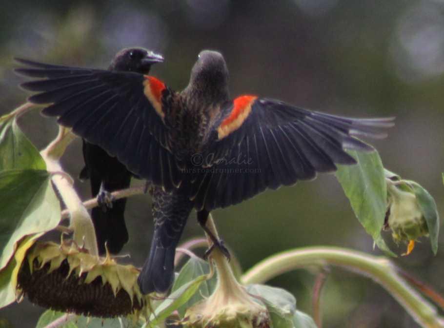 Tricolored Blackbird 001