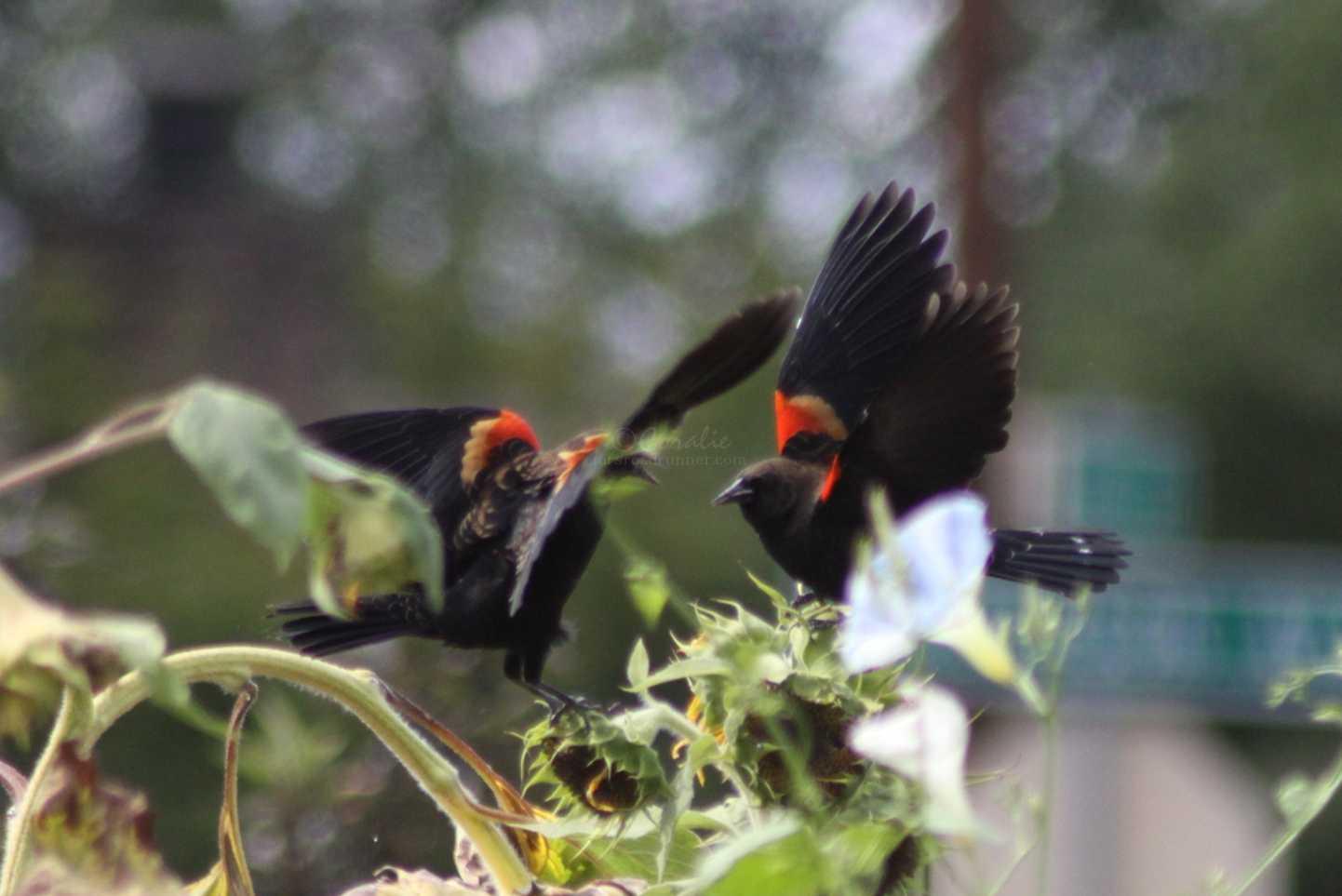 Tricolored Blackbirds 036