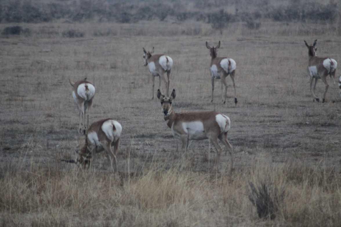 antelope pronghorn 029