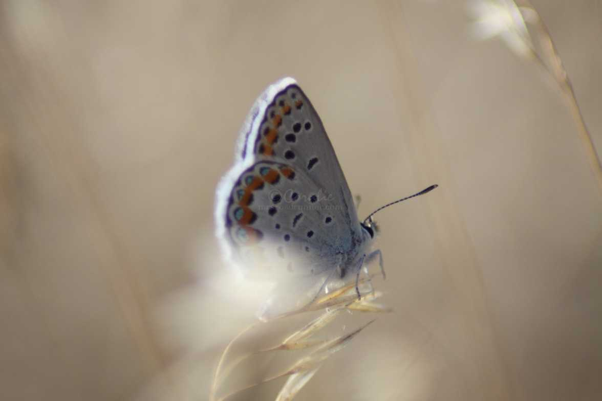 butterfly colorful blue on the national grasslands oregon 1017