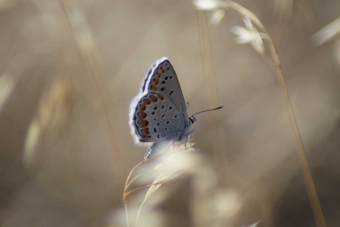 butterfly colorful blue on the national grasslands oregon 983