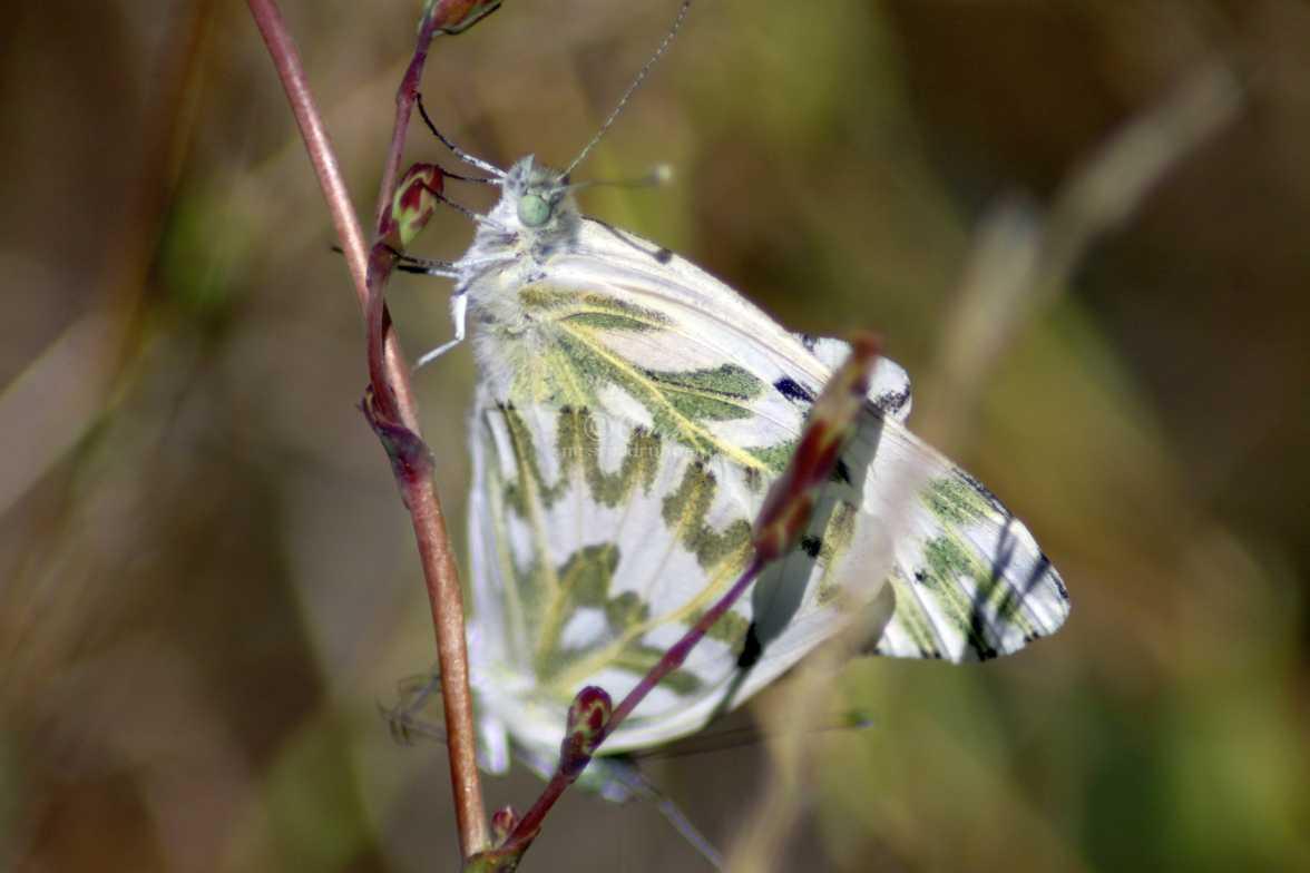 green-veined white Pieris napi butterflies 1428