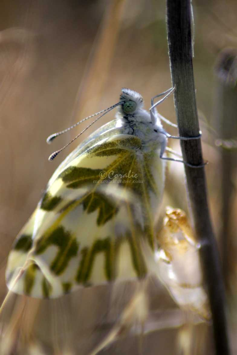 green-veined white Pieris napi butterfly cocoon 711