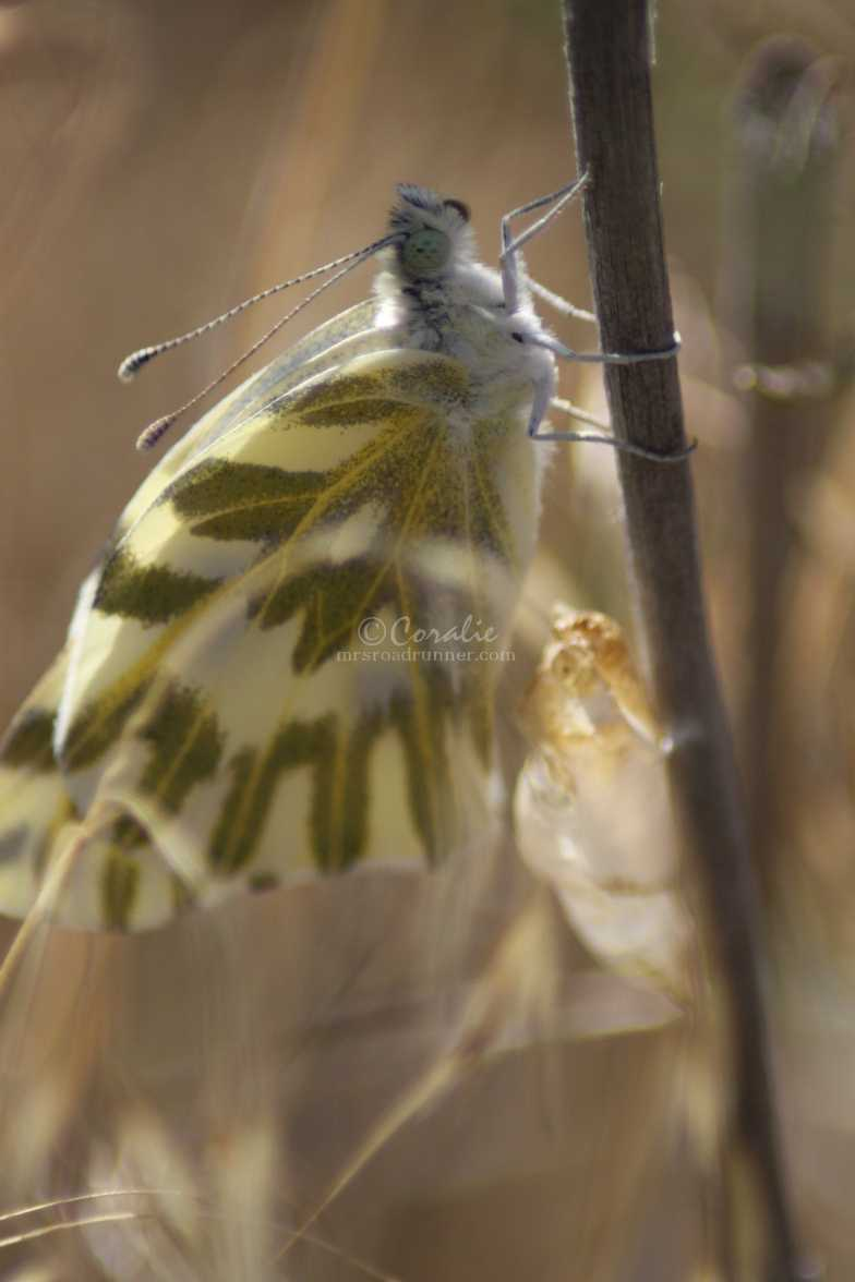 green-veined white Pieris napi butterfly cocoon 720