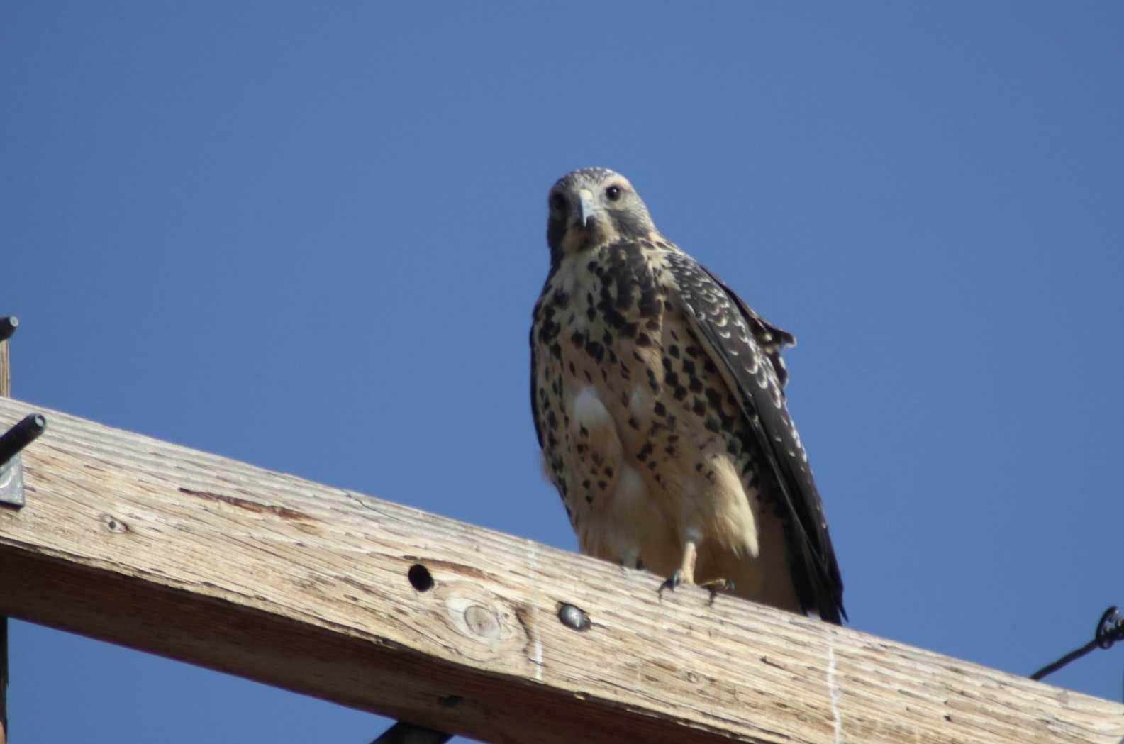 hawk bird of prey 014