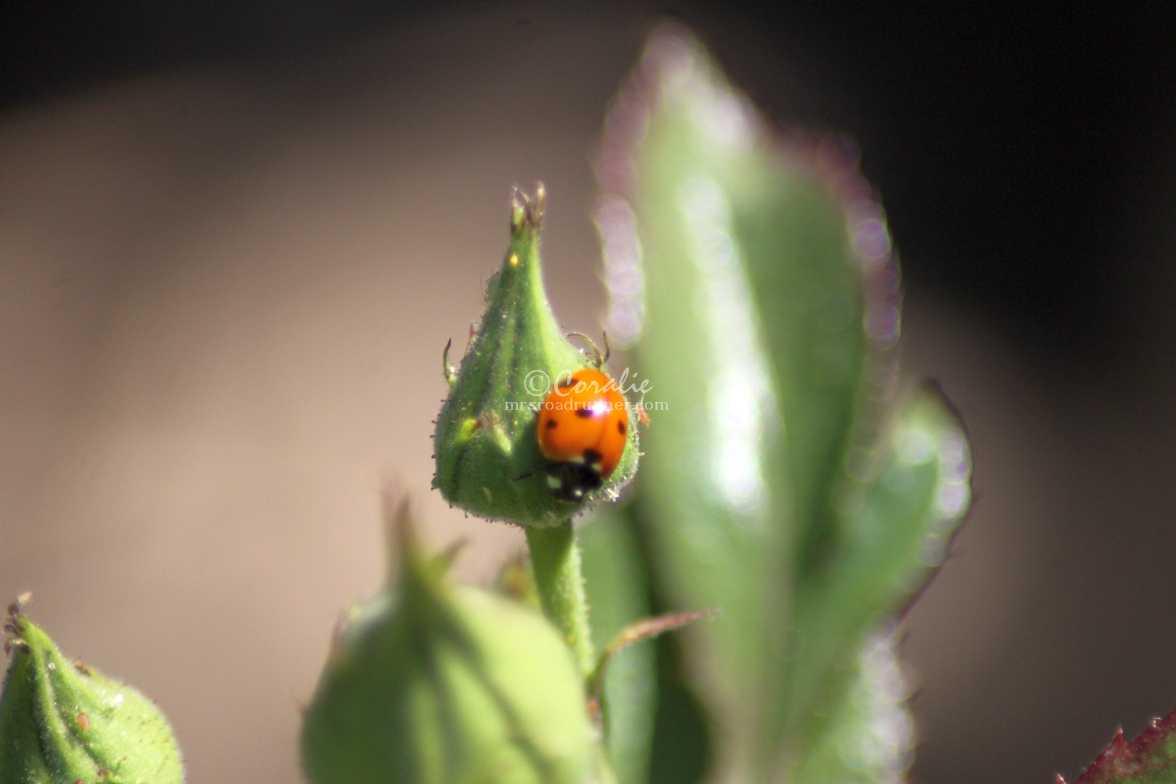 ladybug lady bird 1555