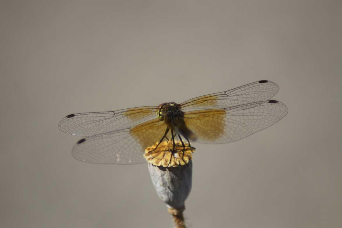 meadow hawk dragonfly 372