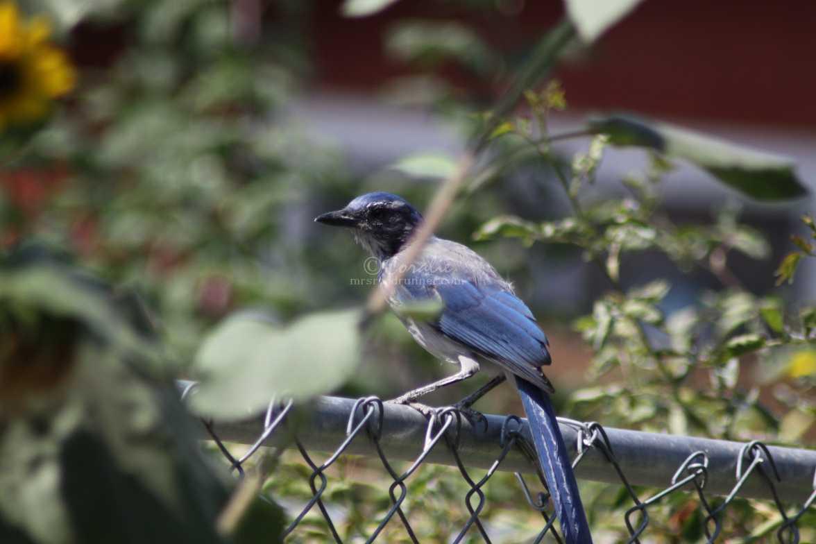 scrub jay bird 004