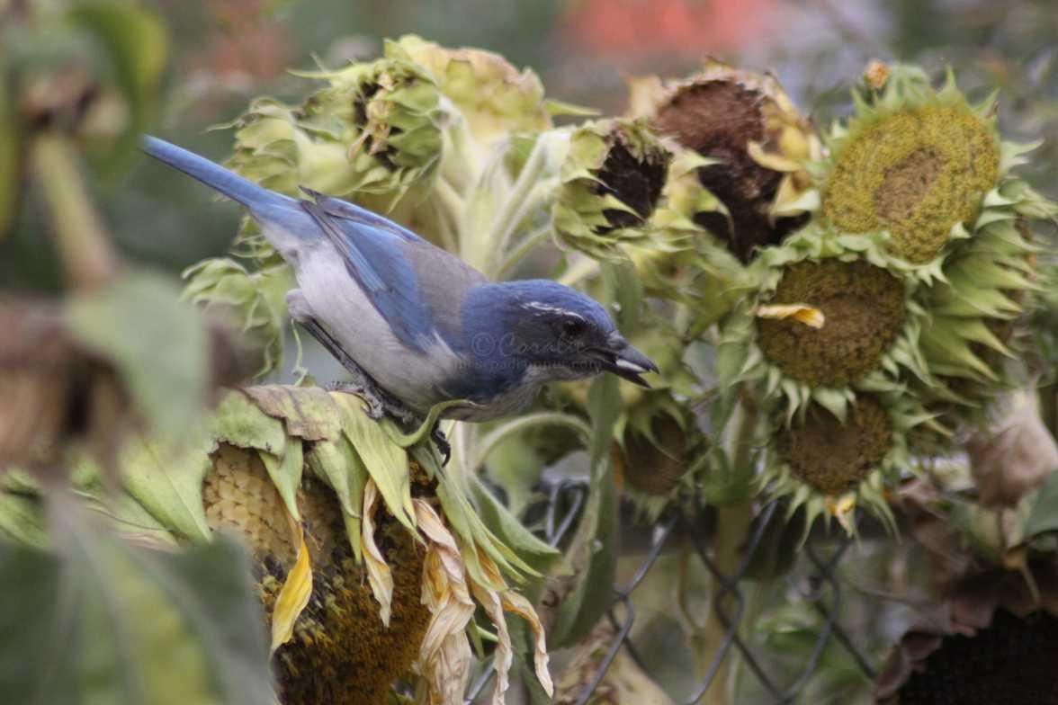 scrub jay bird 1031