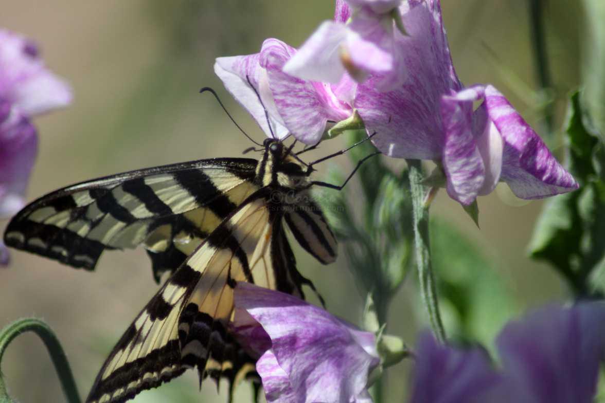 swallowtail butterfly 104