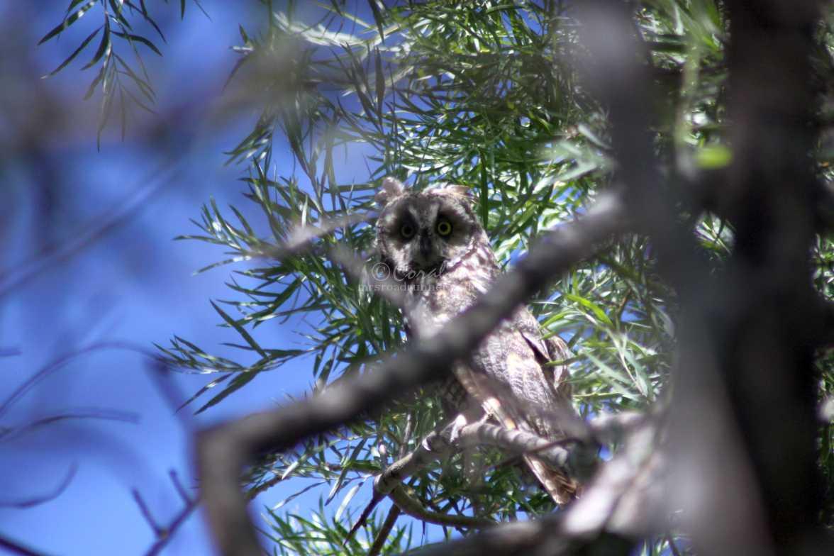 the gaze long eared owl 658