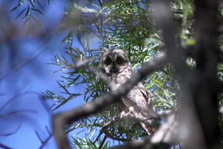 the gaze long eared owl 658