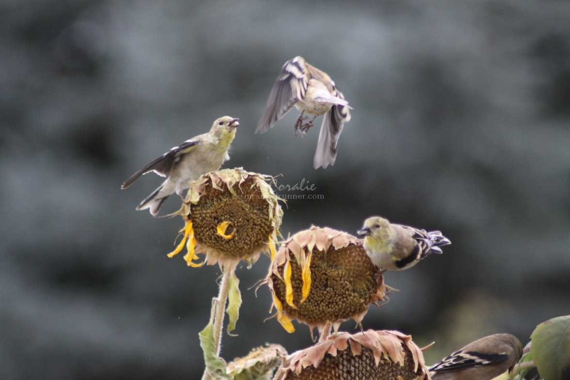 young goldfinch birds 100