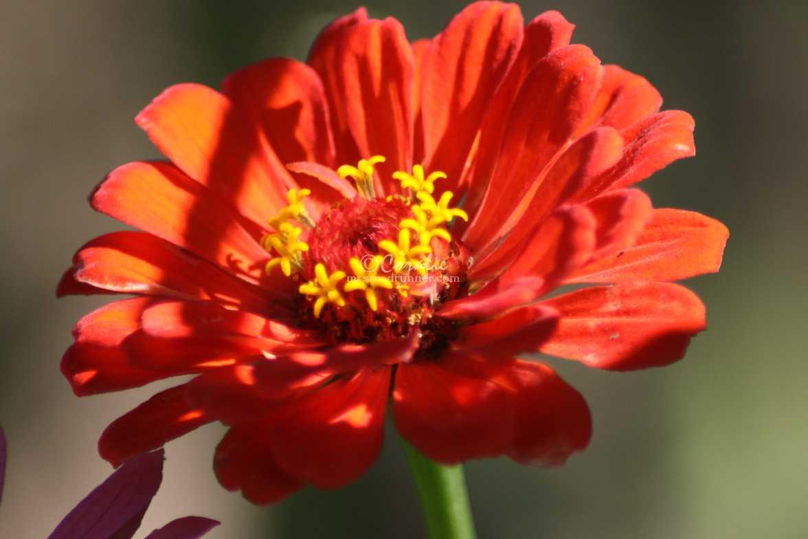 zinnia flower 1549