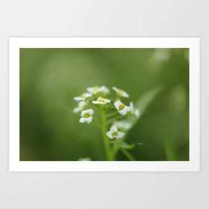 Alyssum Flowers Art Print