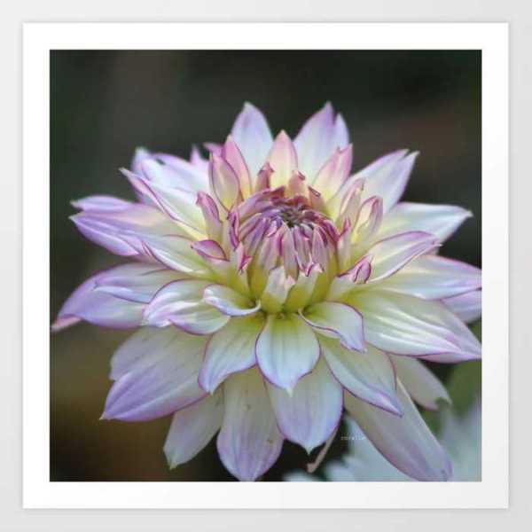 Colorful Dahlia Flower Bloom Art Print