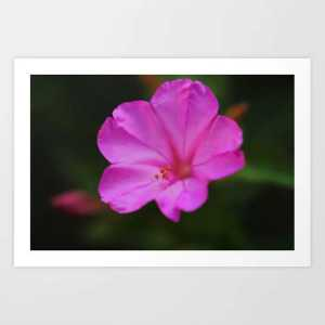 Four Oclock Flower In Pink Art Print