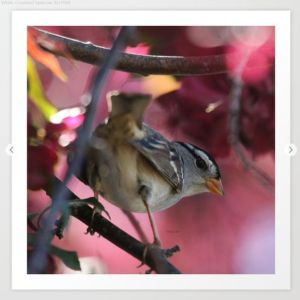 White Crowned Sparrow Art Print
