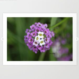alyssum flower bloom Art Print