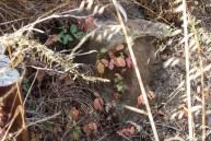 poison oak (1 of 1)