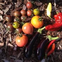 moestuin oogst tomaten aubergines pepers paprika's moestuin