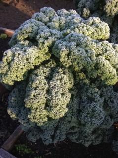 bevroren boerenkool - chilly kale