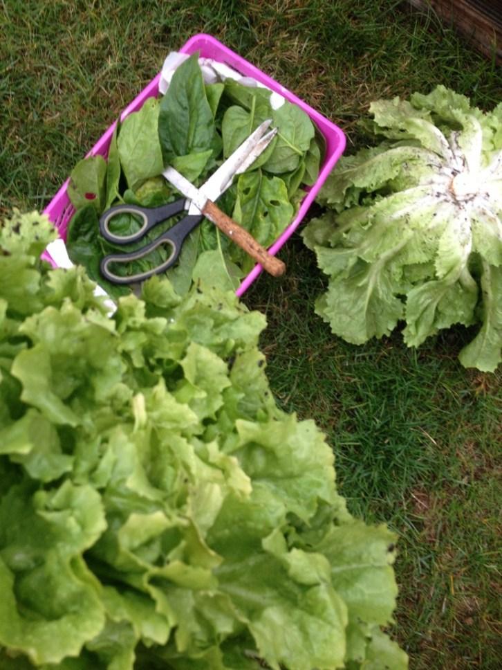 spinazie & andijvie - spinach & endives
