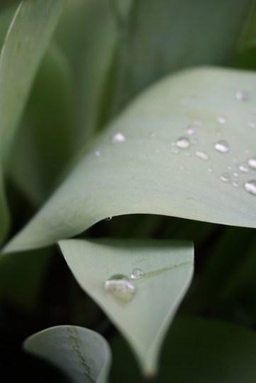 Dauwdruppels op tulp