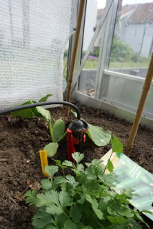 komkommer passandra met koriander