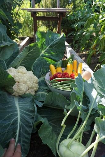 vers geoogst bloemkool uit de moestuin in juni met courgette framboos bonen boontjes klimbonen cobra koolrabi harvest monday