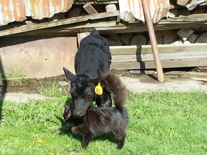 Black calf and black kitten sharing a snuggle.
