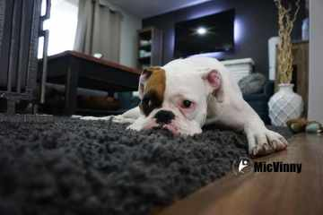 Dog lying on a rug looking tired and lazy