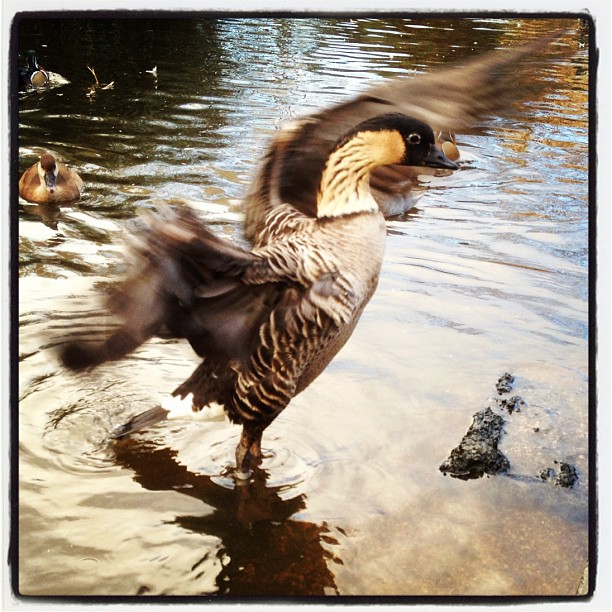 20121110 Flapping duck