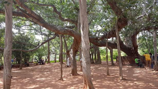 Banyan tree at Auroville