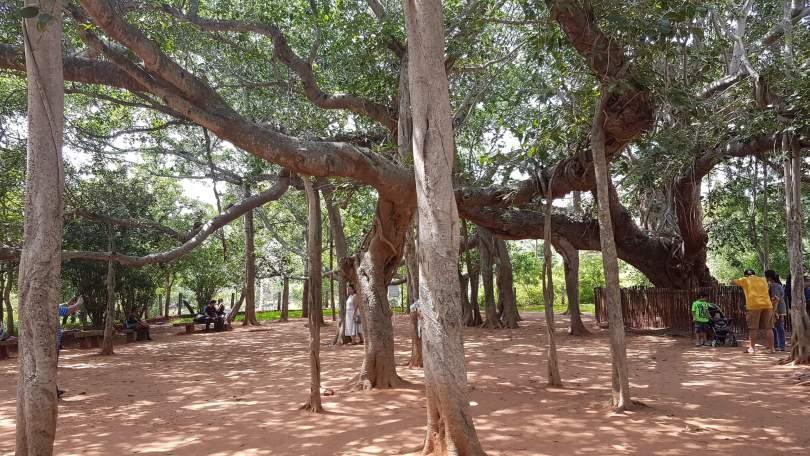 Banyan tree at Auroville