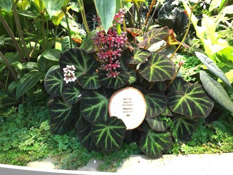 Begonia soli-mutata IMG_7764 (1).jpg