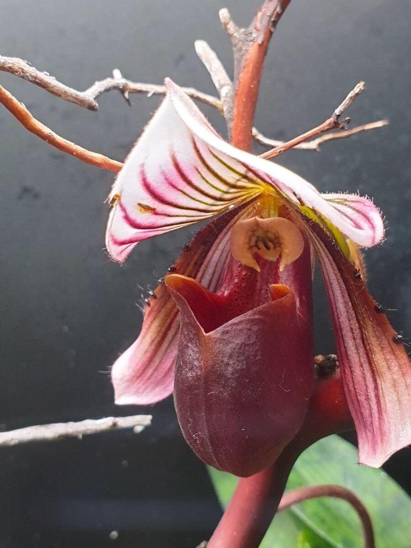 lady's slipper orchids 20190611_175329.jpg