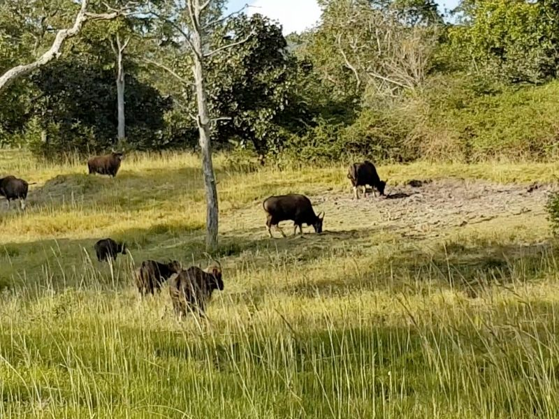 A group of Indian Bison aka Gaur – the largest wild cattle in the world