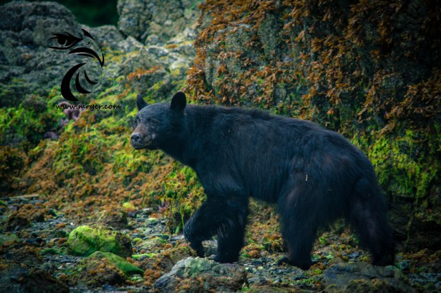 Shark Creek Falls were very difficult to compose and photograph due to their location and general contrast surrounding the area. Instead I got a trade off and a chance to photograph this Black Bear while I waited for the tide to rise.