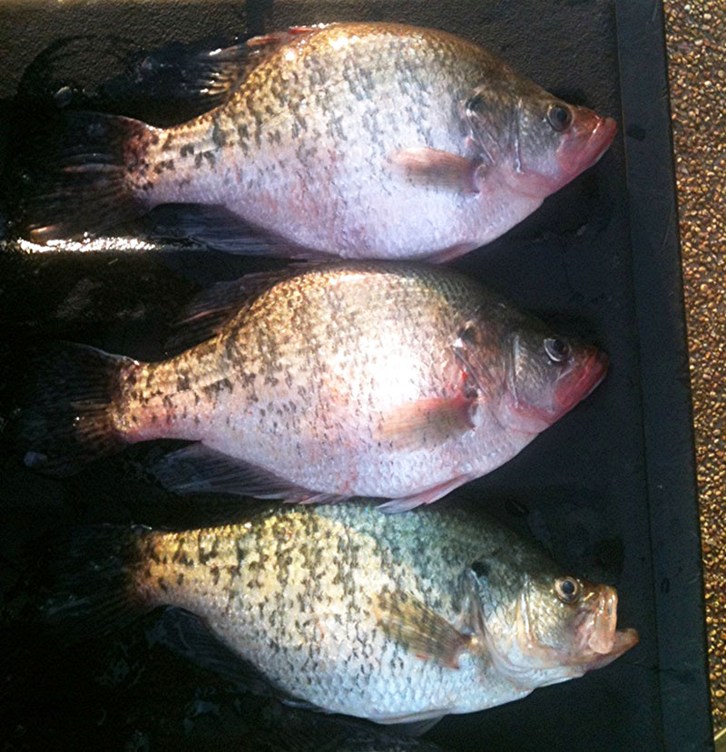 Crappie are known to llosely school by year class, meaning where there is one big crappie, there are likely to be others.